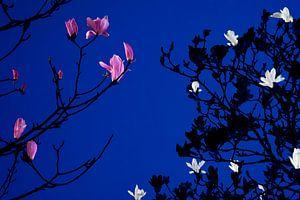 Magnolia bij maanlicht