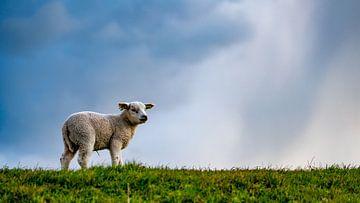 Lammetje op Texel van Texel360Fotografie Richard Heerschap