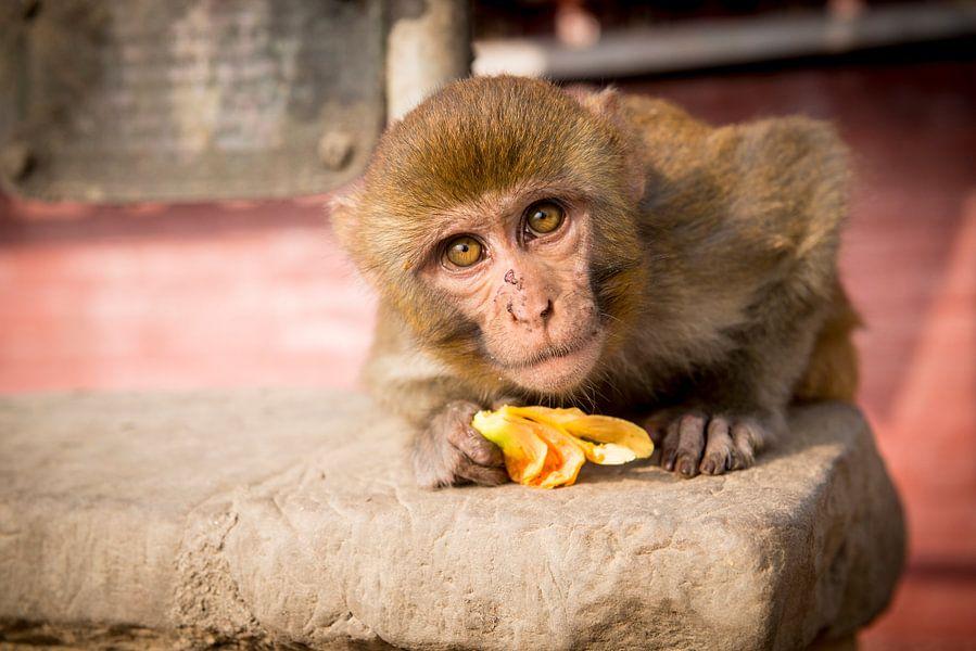 Nieuwsgierig aapje van Ellis Peeters