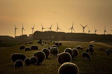 Schafe am Abend von Eppo Karsijns