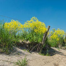 Gelbes Kraut oder Raps entlang eines Zauns auf einer Düne von Patrick Verhoef
