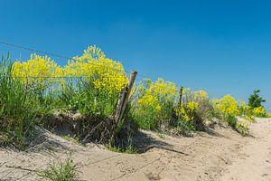 Gelbes Kraut oder Raps entlang eines Zauns auf einer Düne