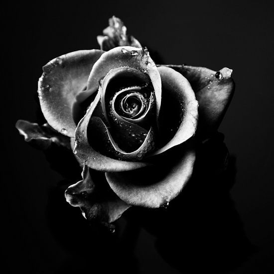 Rose zwart-wit beeld