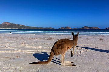 Kangoeroe op een wit strand in West-Australië van Coos Photography