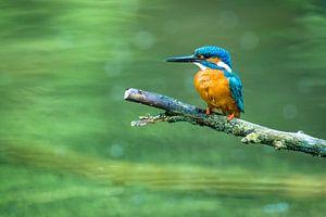 IJsvogel zittend op een tak bij een vijver
