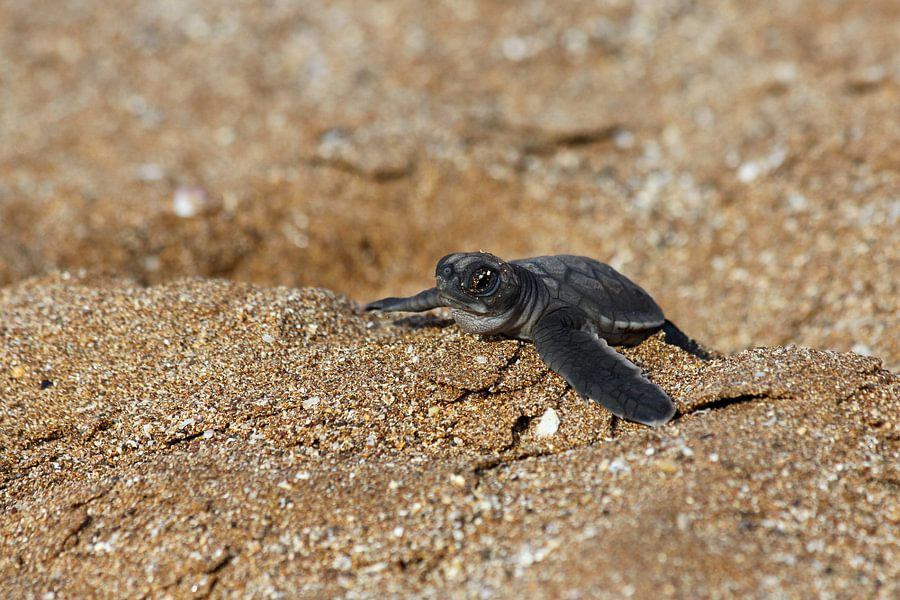 Babyschildpad