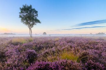 Einsame Birke auf der Strabrecht Heide von Joep de Groot