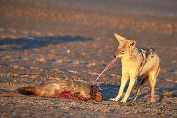Jakhals eet zeehond van Arjen van den Broek