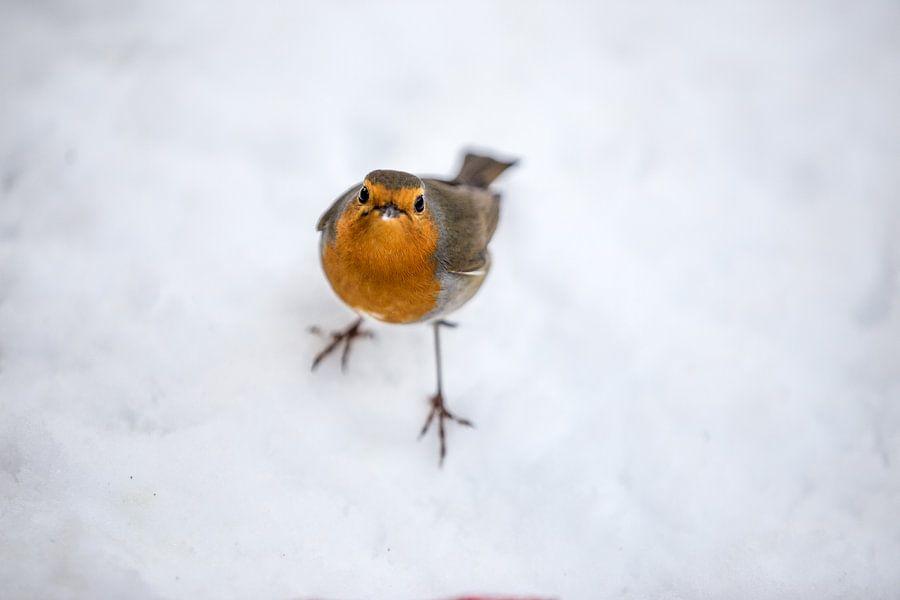 Robin bird in the snow