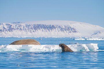 Walross im Wasser und auf einer Eisscholle von Merijn Loch
