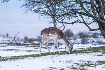 Junger Damhirsch im Schnee von Anne Zwagers