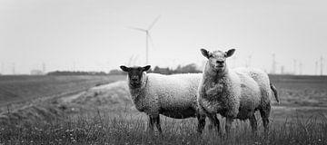 Schafe in Bierum I von Luis Fernando Valdés Villarreal Boullosa