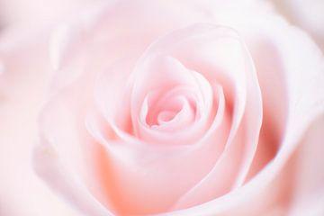 Rose von Ton Drijfhamer