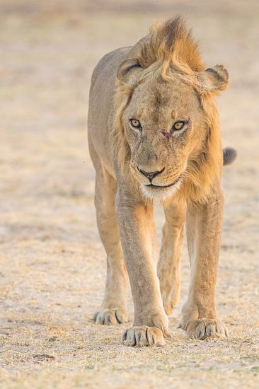 Leeuw van Ronald Zimmerman