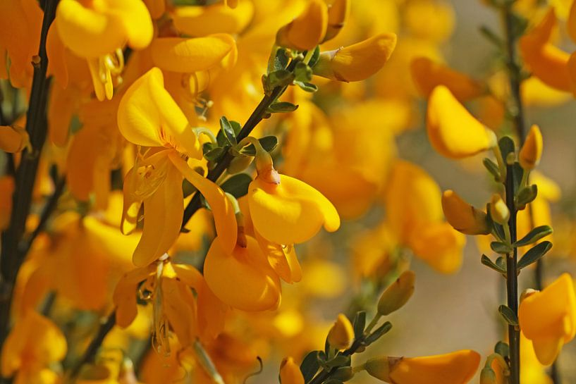 Zonnige gele brem van Wieland Teixeira