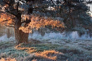 zonsopgang rood licht op berijpte dennenboom in de winter van Olha Rohulya
