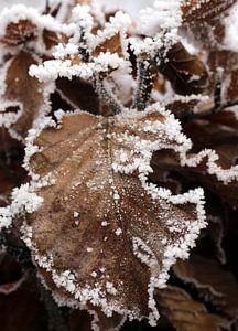 Beukenblad in de winter van