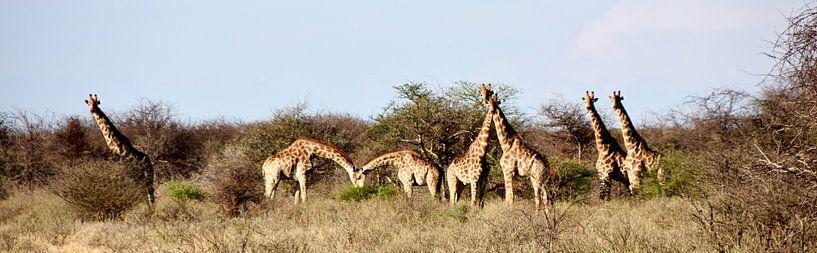 Panorama De familie Giraffe! van Iduna vanwoerkom