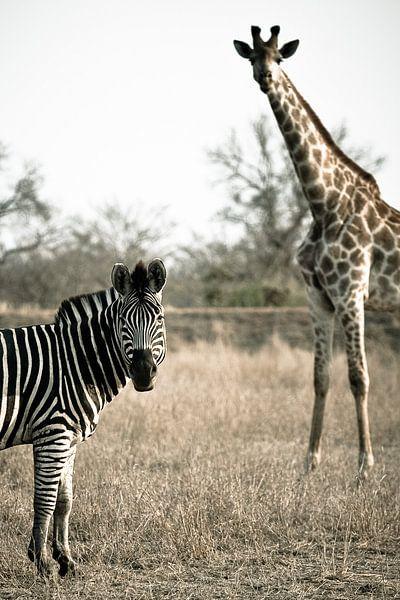 Zebra and giraffe van Jasper van der Meij