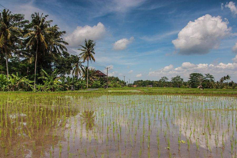 Rijstveld op Bali