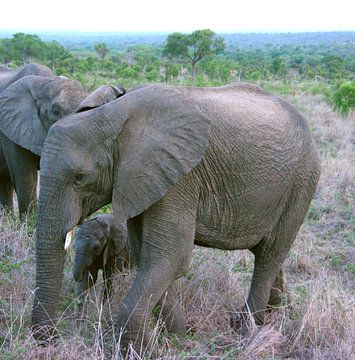 olifant Sabi Sands Zuid Afrika van f th