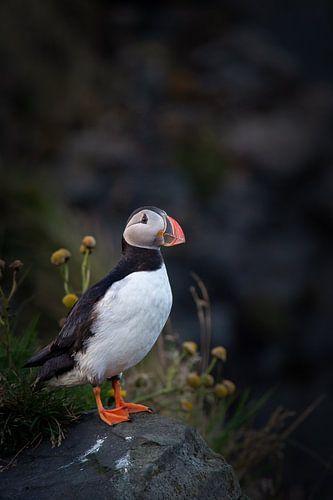 Papagaaiduiker, IJsland van