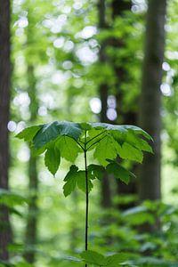 Natuurlijke parasol in bos (groei jonge boom) van Tot Kijk Fotografie: natuur aan de muur