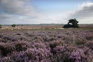 Troupeaux de moutons au pâturage dans les landes sur Marika Rentier