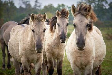Portrait de trois chevaux konik sur Marco Koedam
