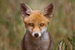 Portret van een jonge vos in de Nederlandse natuur in een lichte setting van Maarten Oerlemans