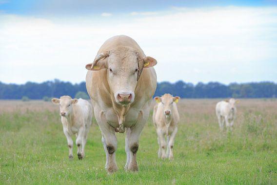 Blonde d'Aquitaine stier met twee van zijn kalveren in weiland