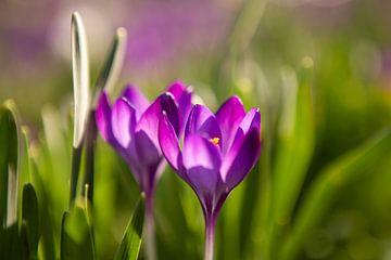 Bloeiende paarse krokussen van Evelien Oerlemans