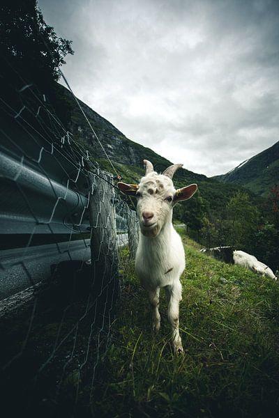 Norwegian goat van Jip van Bodegom