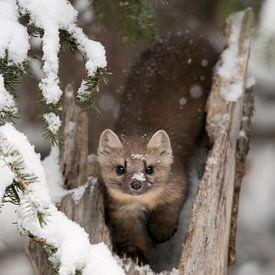 Martens / martres des pins / martres d'Amérique ( Martes americana ) en hiver, contact visuel direct sur wunderbare Erde