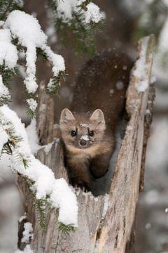 Marten / dennenmarter / sparrenmarter ( Martes americana ) in de winter, direct oogcontact, wild, Ye van wunderbare Erde
