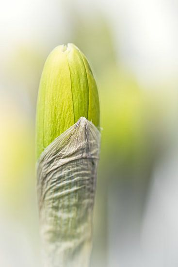 It isn't a mini-skirt... (bloem, Narcis in de knop) van Bob Daalder