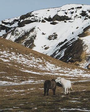 Ijslandse Paarden (Ijslander) in de groene wij met sneeuw en bergen op de achtergrond (Ijsland) van Michiel Dros