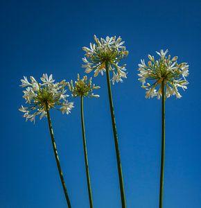 Blumen am Himmel von Evelien van der Horst