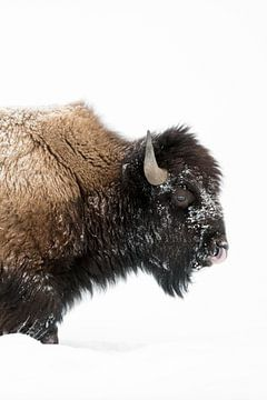 American Bison ( Bison bison ) in winter, mature bull, walking through deep snow, licking its nose,  van wunderbare Erde