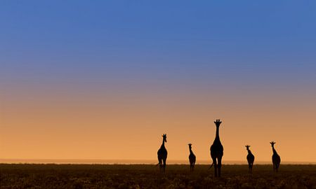 Vijf giraffes voor zonsopkomst