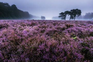 Heide in bloei van Jacques Jullens