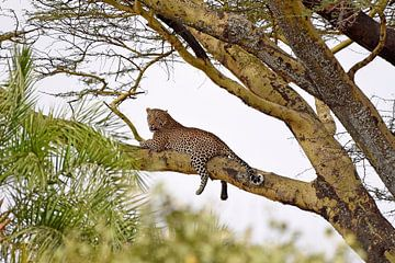 Op safari in Afrika: Luipaard op boomtak van acaciaboom, Serengeti, Tanzania) van Koolspix