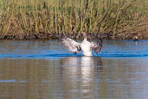 Graugans beeindruckt mit ihren Flügeln und schwimmt wie in einem Teich in Norddeutschland