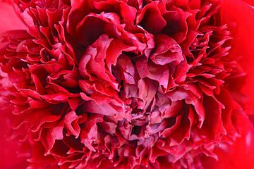 Rode pioen van Barbara Brolsma