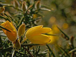 Brem bloemen, close up van