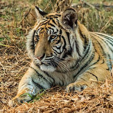 """Tijger (Panthera tigris) """"Luieren"""" van Rob Smit"""