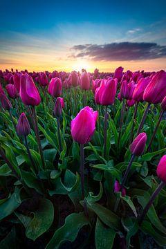 The amazing tulips in the Netherlands van Costas Ganasos