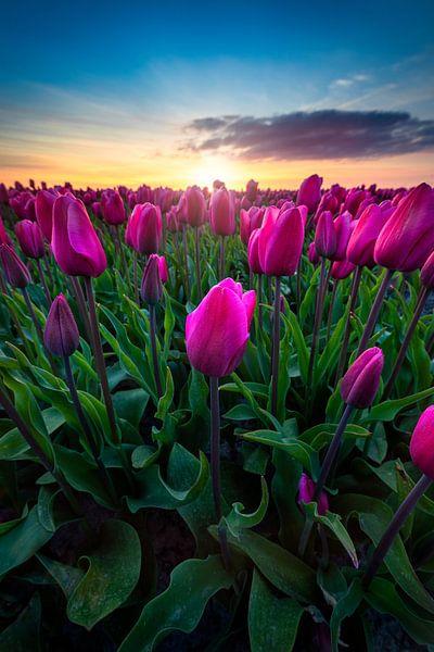 Die erstaunlichen Tulpen in den Niederlanden von Costas Ganasos
