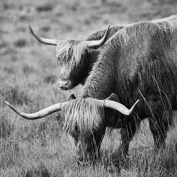 Schotse Hooglanders van Lars Beekman