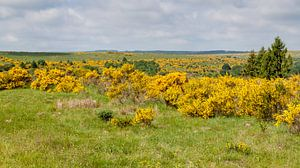 Ginsterblüte im Nationalpark Eifel von Gottfried Carls